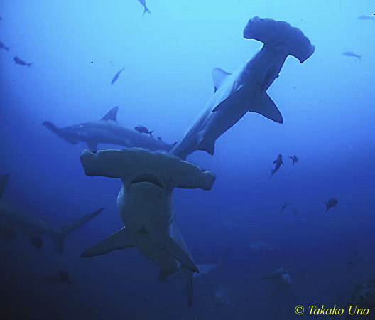 Hammerhead Shark - Shark Watching Dive, West Palm Beach, FL