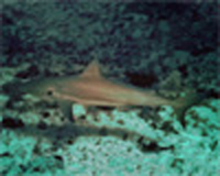 Reef Shark - Shark Watching Dive, West Palm Beach, FL