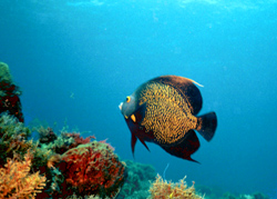 Photoshop Elements II - French Angel Fish